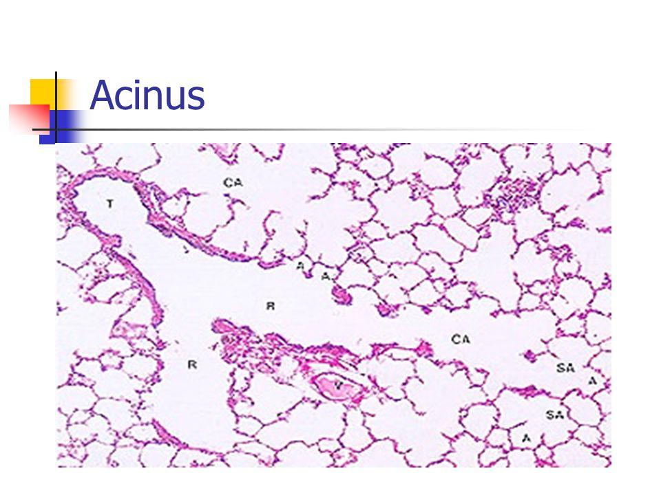 Acinus