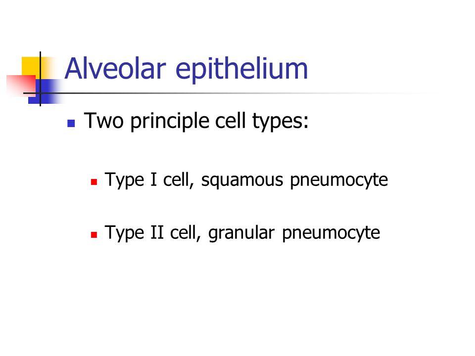 Alveolar epithelium Two principle cell types: Type I cell, squamous pneumocyte Type II cell, granular pneumocyte