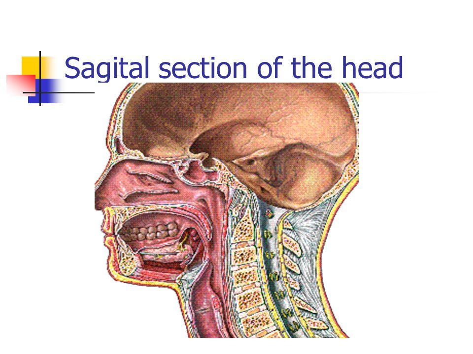 Nasal regions Vestibular area contains sebaceous glands; secrete sebum Keeps vibrissae soft and filter gases Olfactory region Olfactory region: pseudostratified columnar epithelium and olfactory cells