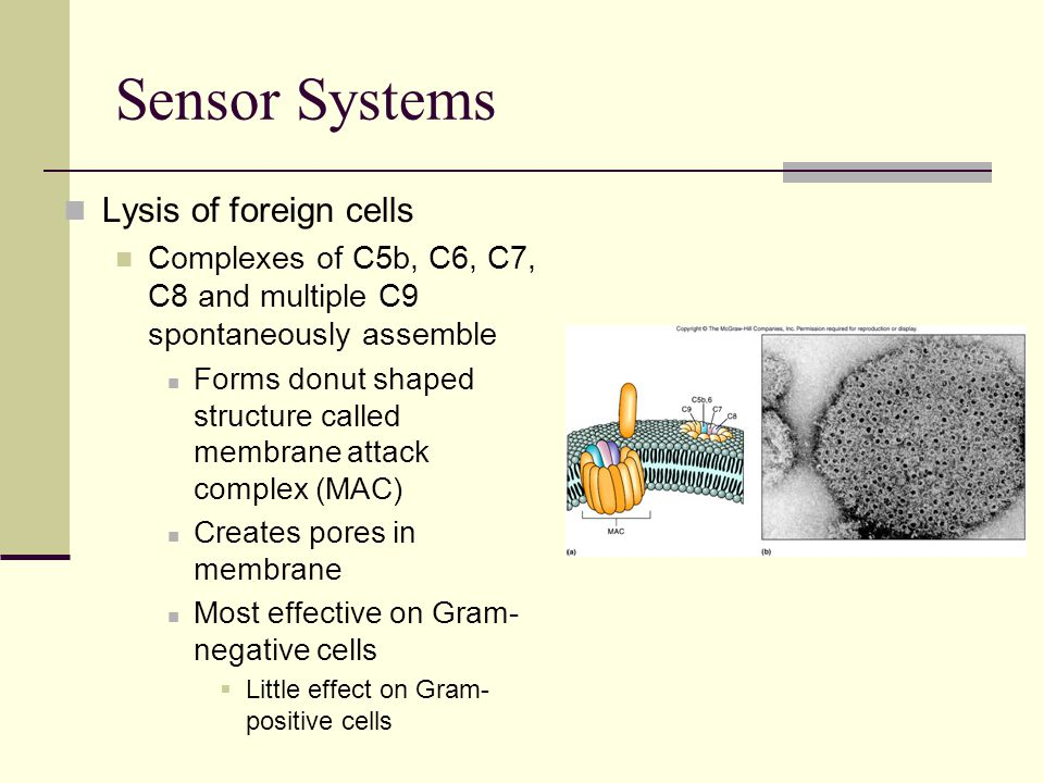 Sensor Systems Lysis of foreign cells Complexes of C5b, C6, C7, C8 and multiple C9 spontaneously assemble Forms donut shaped structure called membrane