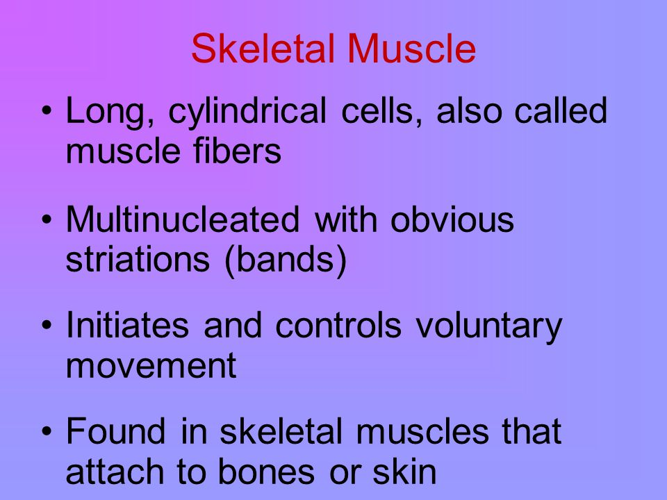Skeletal Muscle Long, cylindrical cells, also called muscle fibers Multinucleated with obvious striations (bands) Initiates and controls voluntary movement Found in skeletal muscles that attach to bones or skin