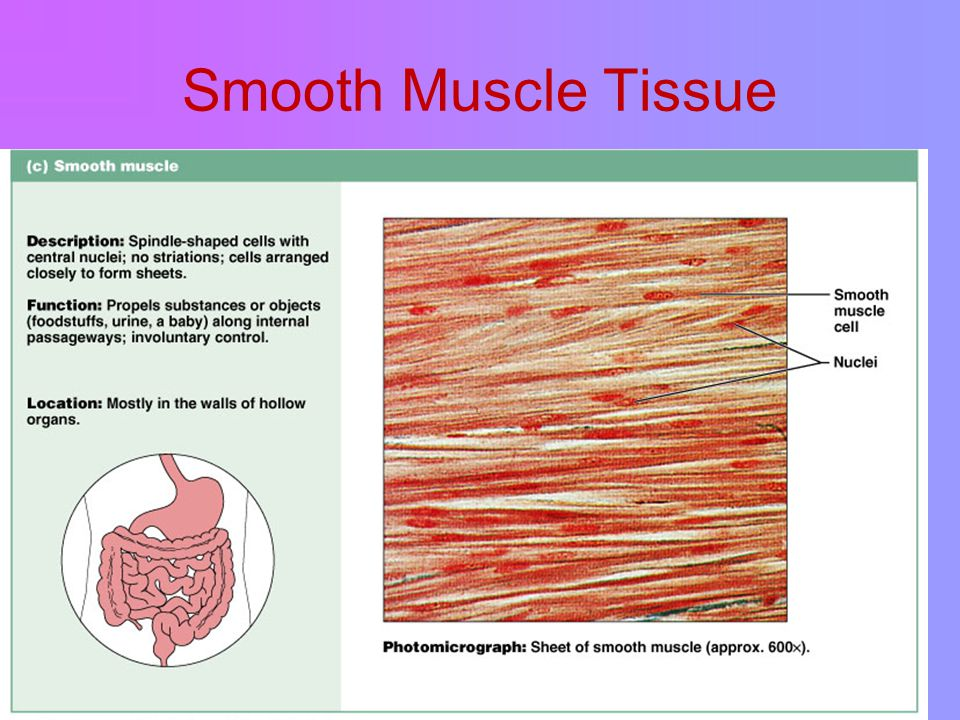 Smooth Muscle Tissue Figure 4.11c