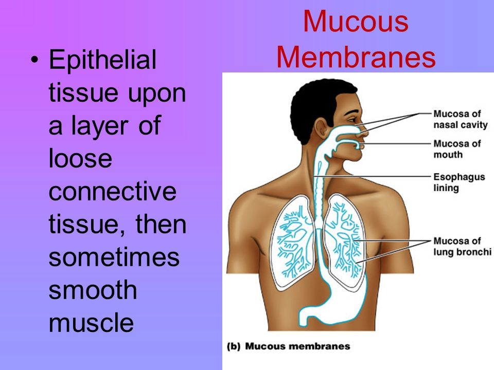 Mucous Membranes Figure 4.9b Epithelial tissue upon a layer of loose connective tissue, then sometimes smooth muscle