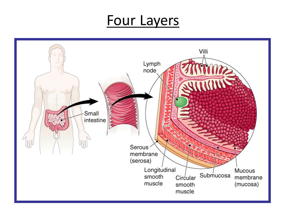 Structures of the Intestinal Wall