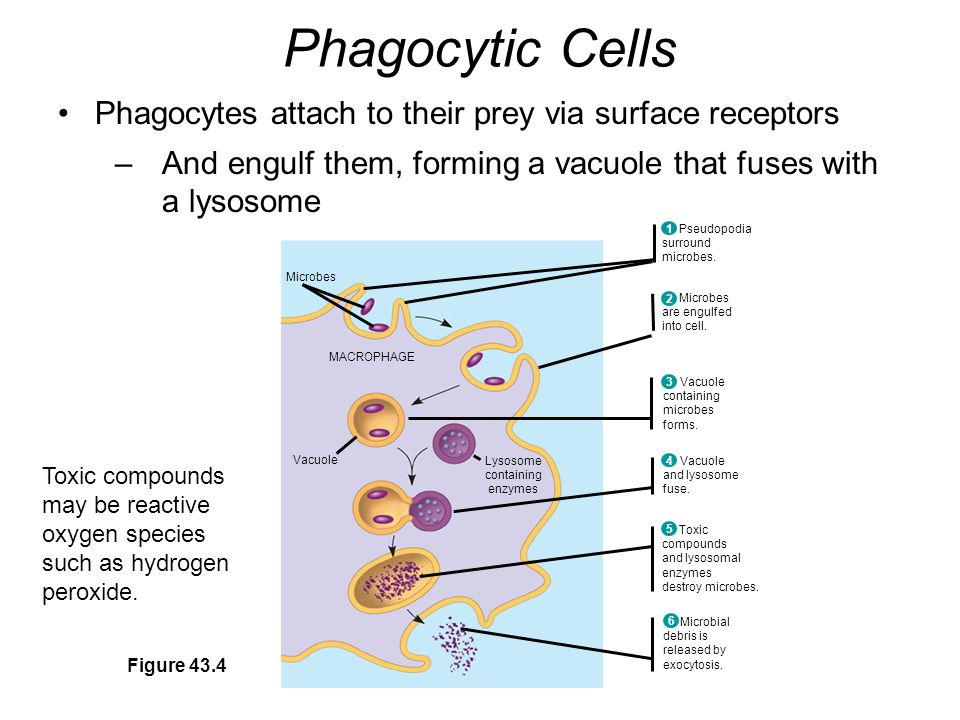 Phagocytic Cells Phagocytes attach to their prey via surface receptors –And engulf them, forming a vacuole that fuses with a lysosome Figure 43.4 Pseudopodia surround microbes.
