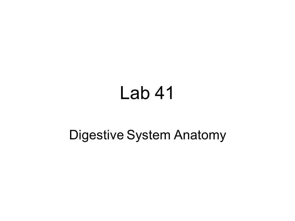 Lab 41 Digestive System Anatomy