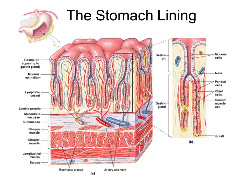 Figure 24–13 The Stomach Lining