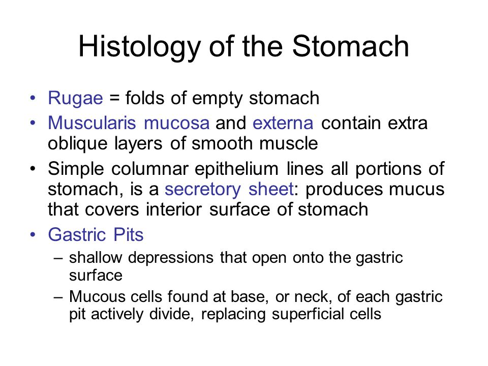 Histology of the Stomach Rugae = folds of empty stomach Muscularis mucosa and externa contain extra oblique layers of smooth muscle Simple columnar ep