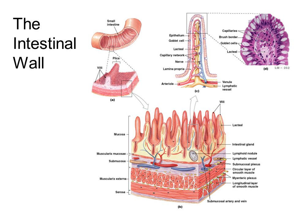 Intestinal Folds and Projections Largest = Plicae: transverse folds in intestinal lining –permanent features (they do not disappear when small intestine fills) Intestinal Villi: a series of fingerlike projections in mucosa of small intestine Villi are covered with simple columnar epithelium which themselves are covered with microvilli All serve to increase surface area for absorption (altogether by 600x)