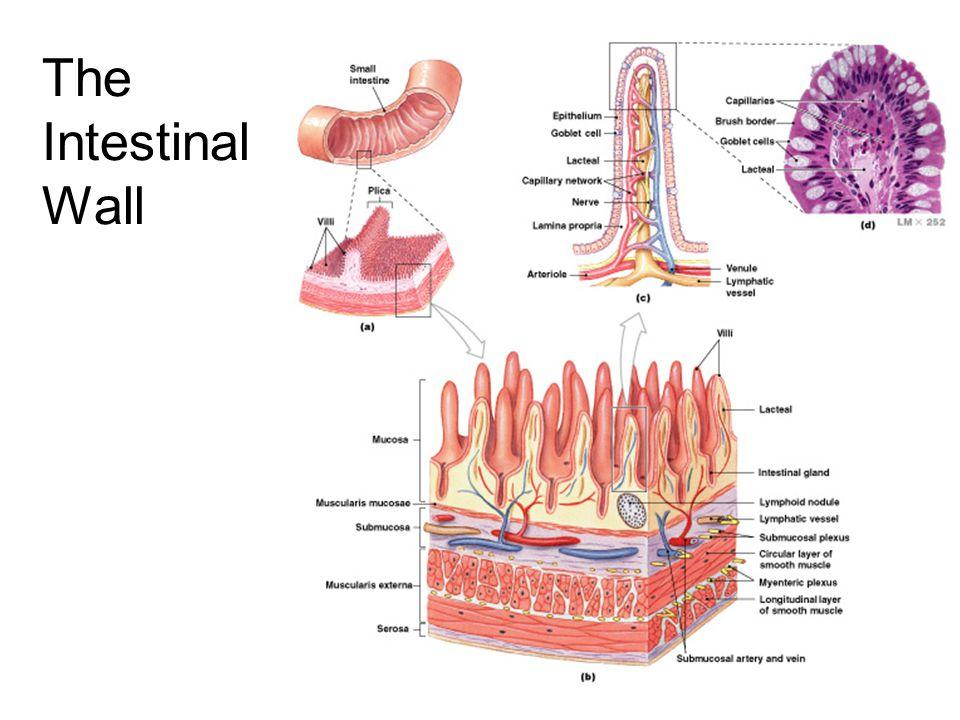The Intestinal Wall Figure 24–17