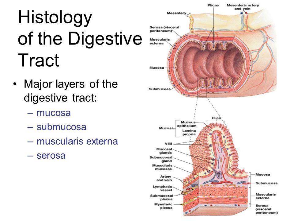 Histology of the Digestive Tract Major layers of the digestive tract: –mucosa –submucosa –muscularis externa –serosa