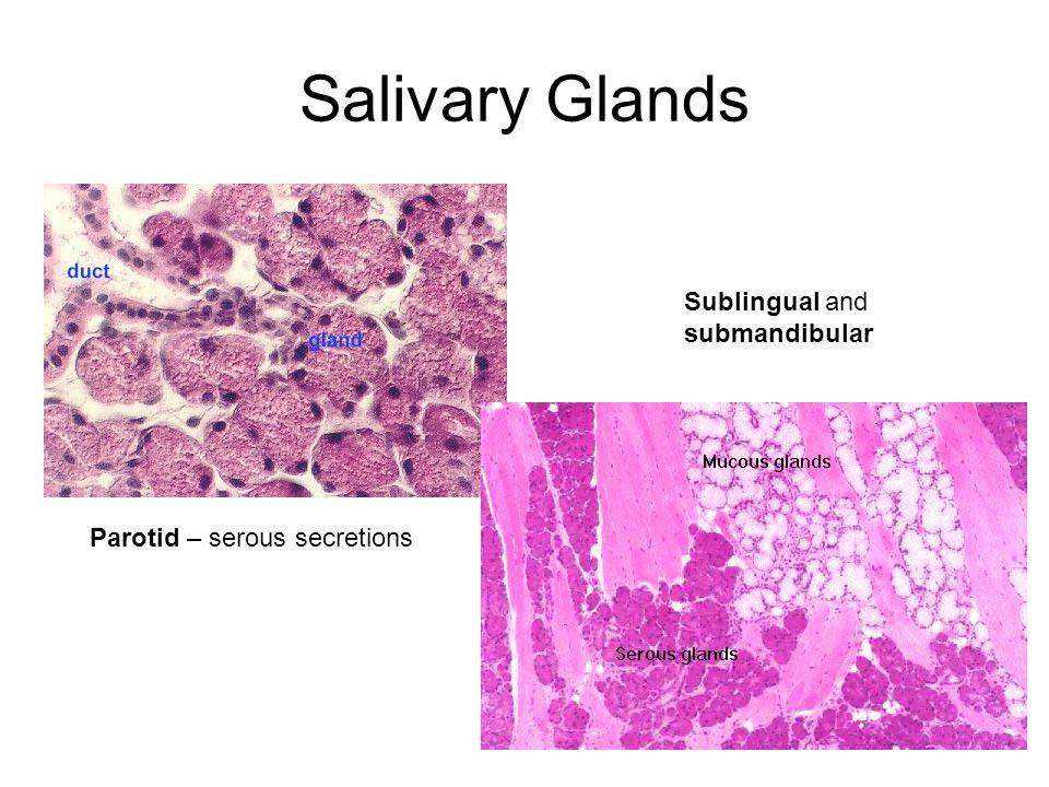 Salivary Glands Parotid – serous secretions Sublingual and submandibular