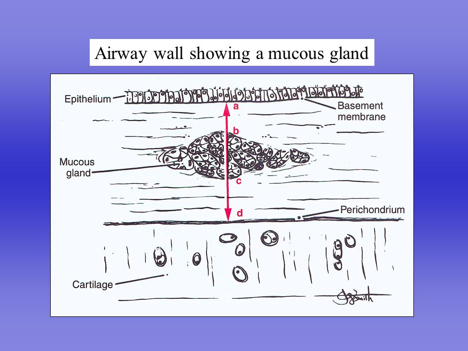 Airway wall showing a mucous gland