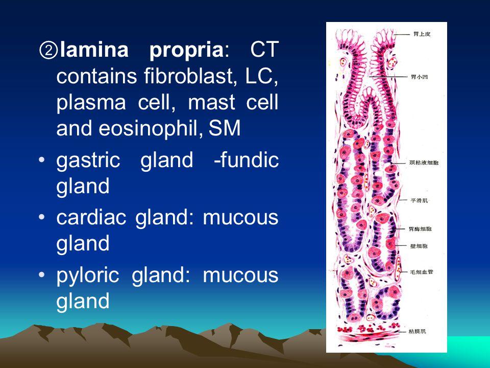 ② lamina propria: CT contains fibroblast, LC, plasma cell, mast cell and eosinophil, SM gastric gland -fundic gland cardiac gland: mucous gland pylori