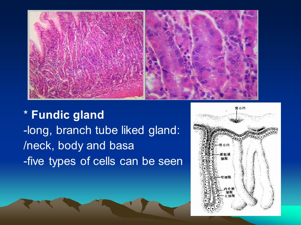 * Fundic gland -long, branch tube liked gland: /neck, body and basa -five types of cells can be seen