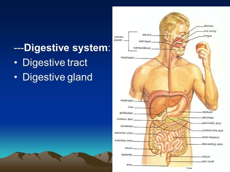 ---Digestive system: Digestive tract Digestive gland