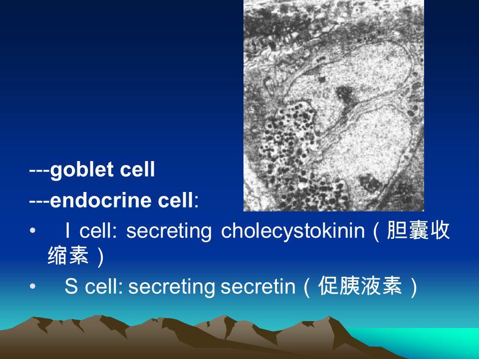 ---goblet cell ---endocrine cell: I cell: secreting cholecystokinin (胆囊收 缩素) S cell: secreting secretin (促胰液素)