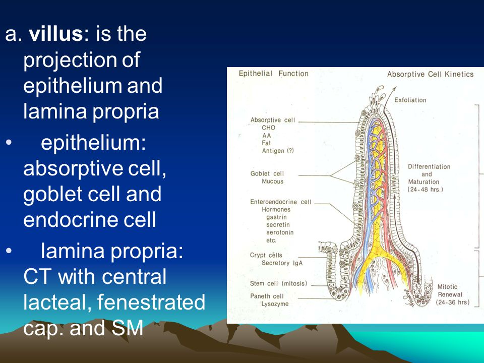 a. villus: is the projection of epithelium and lamina propria epithelium: absorptive cell, goblet cell and endocrine cell lamina propria: CT with cent