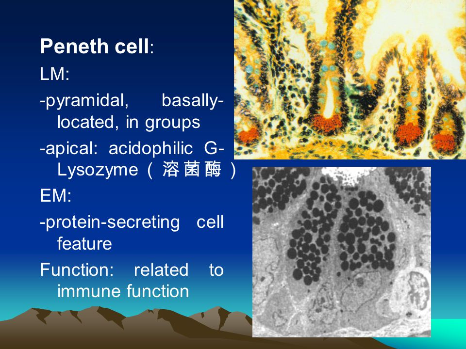 Peneth cell : LM: -pyramidal, basally- located, in groups -apical: acidophilic G- Lysozyme (溶菌酶) EM: -protein-secreting cell feature Function: related