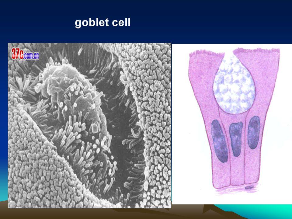 goblet cell