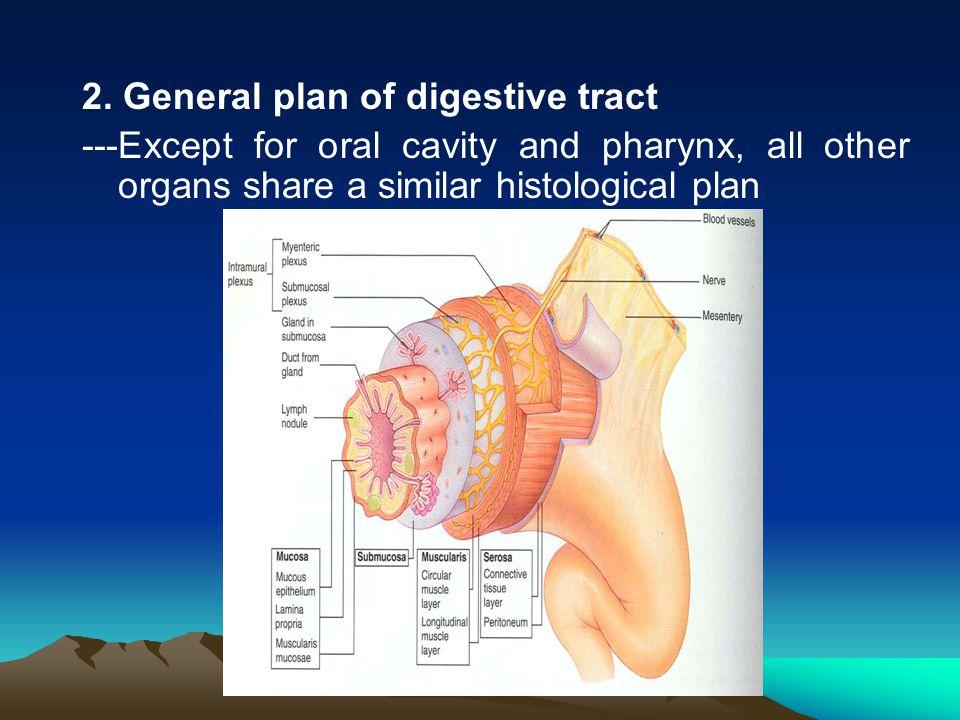 ② lamina propria: CT contains fibroblast, LC, plasma cell, mast cell and eosinophil, SM gastric gland -fundic gland cardiac gland: mucous gland pyloric gland: mucous gland