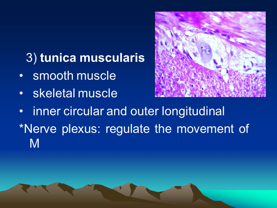 ③ muscularis mucosa: SM inner circular and outer longitudinal