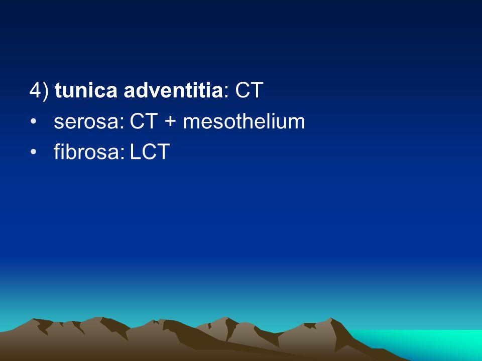 4) tunica adventitia: CT serosa: CT + mesothelium fibrosa: LCT
