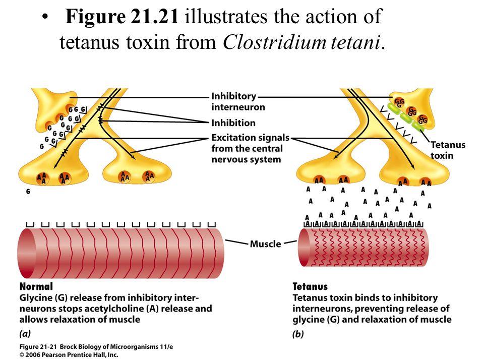 Figure 21.21 illustrates the action of tetanus toxin from Clostridium tetani.