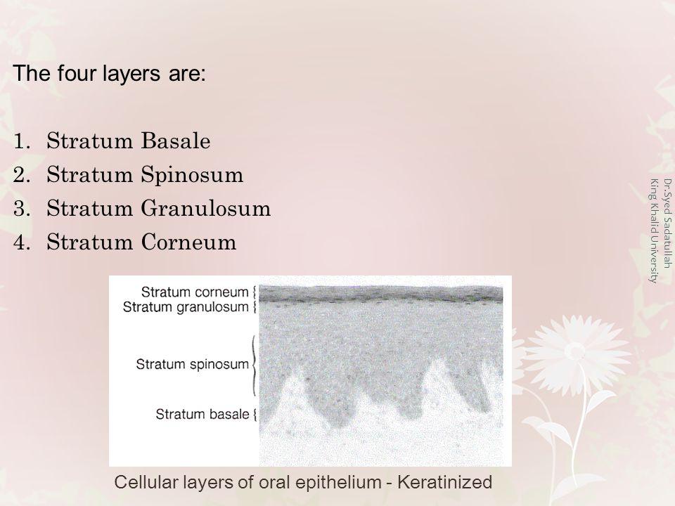 Dr.Syed Sadatullah King Khalid University The four layers are: 1.Stratum Basale 2.Stratum Spinosum 3.Stratum Granulosum 4.Stratum Corneum Cellular layers of oral epithelium - Keratinized