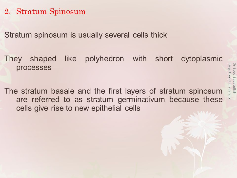 Dr.Syed Sadatullah King Khalid University 2.Stratum Spinosum Stratum spinosum is usually several cells thick They shaped like polyhedron with short cytoplasmic processes The stratum basale and the first layers of stratum spinosum are referred to as stratum germinativum because these cells give rise to new epithelial cells