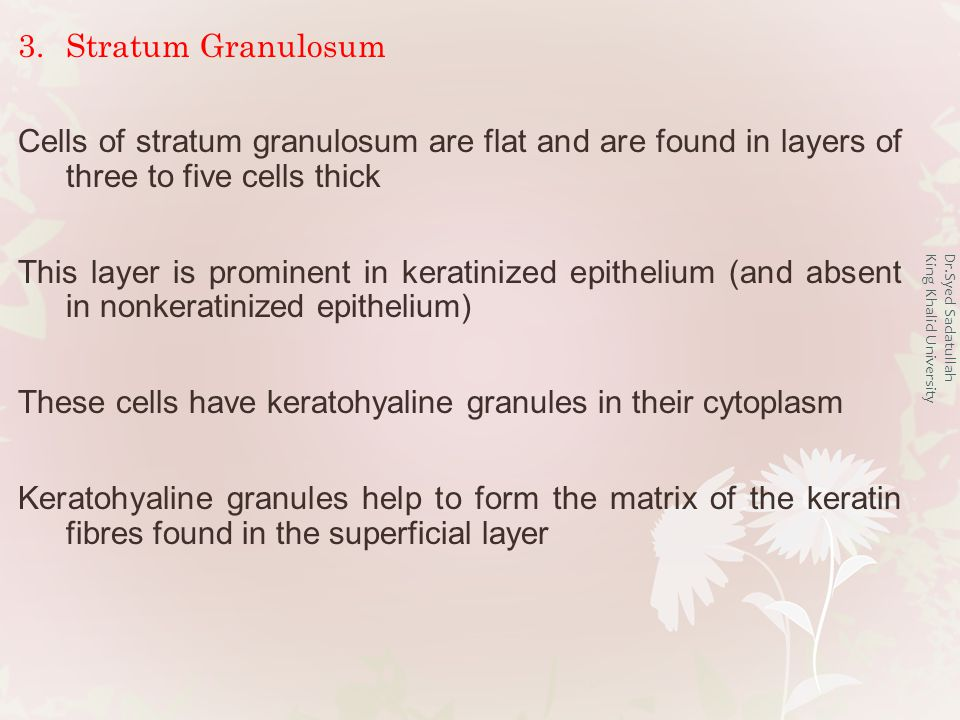 3.Stratum Granulosum Cells of stratum granulosum are flat and are found in layers of three to five cells thick This layer is prominent in keratinized epithelium (and absent in nonkeratinized epithelium) These cells have keratohyaline granules in their cytoplasm Keratohyaline granules help to form the matrix of the keratin fibres found in the superficial layer Dr.Syed Sadatullah King Khalid University