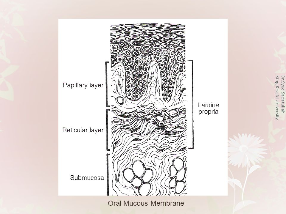 Connective tissue Connective tissue can be differentiated as: Lamina Propria and Submucosa Lamina propria Lamina propria is the connective tissue layer immediately below the epithelium It can be divided into papillary layer and the reticular layer Papillary layer forms finger like projections of connective tissue that extend deep in the epithelial layers Dr.Syed Sadatullah King Khalid University