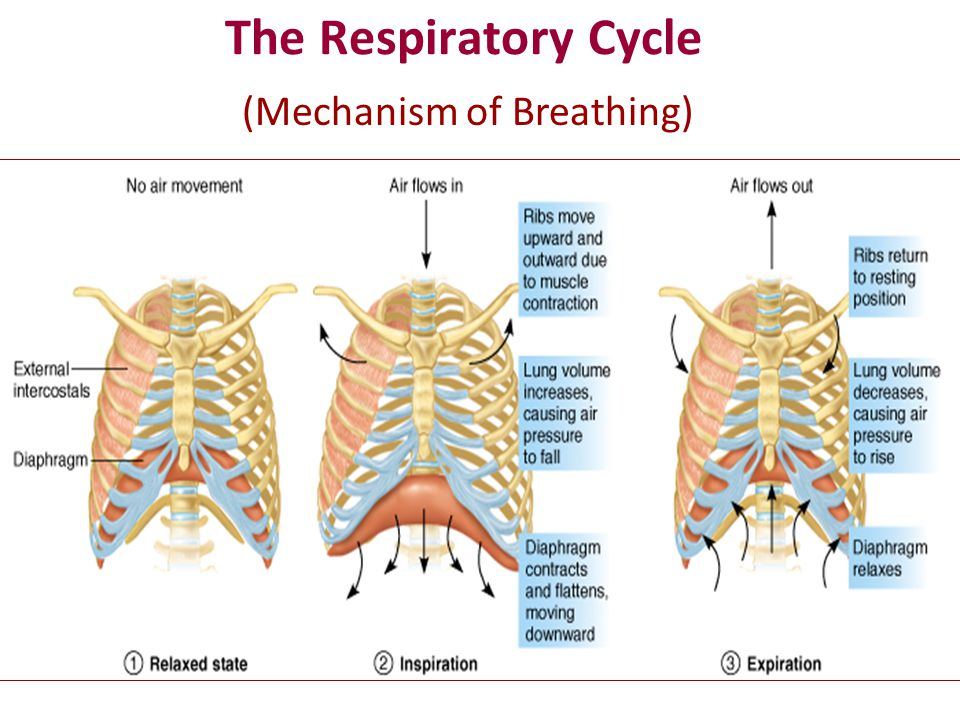 The Respiratory Cycle (Mechanism of Breathing)