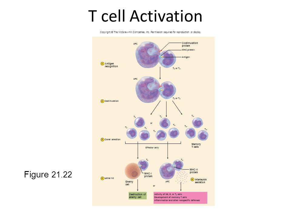 T cell Activation Figure 21.22 Costimulation Clonal selection MHC protein Antigen APC T C or T H TCTC TCTC TCTC TCTC THTH THTH TMTM TMTM TMTM THTH THT