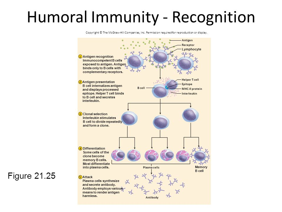 Humoral Immunity - Recognition Figure 21.25 Plasma cells Antibody Antigen Receptor Helper T cell Epitope MHC-II protein Interleukin B cell 1 2 3 4 5 A