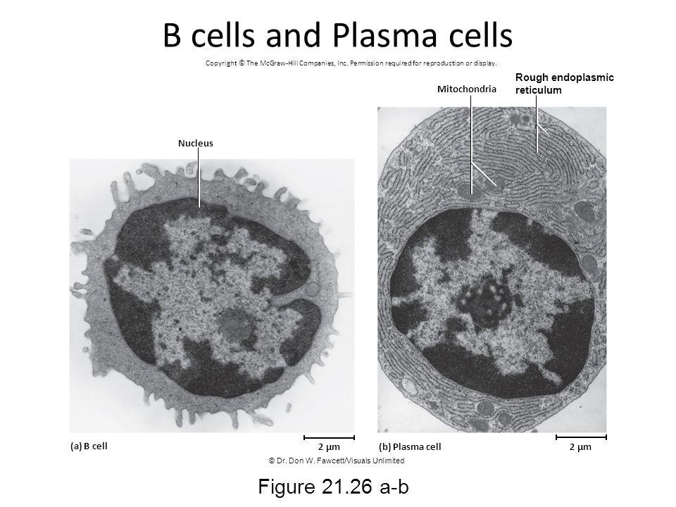 B cells and Plasma cells Figure 21.26 a-b Mitochondria Nucleus (a) B cell (b) Plasma cell2 µm Rough endoplasmic reticulum 2 µm Copyright © The McGraw-