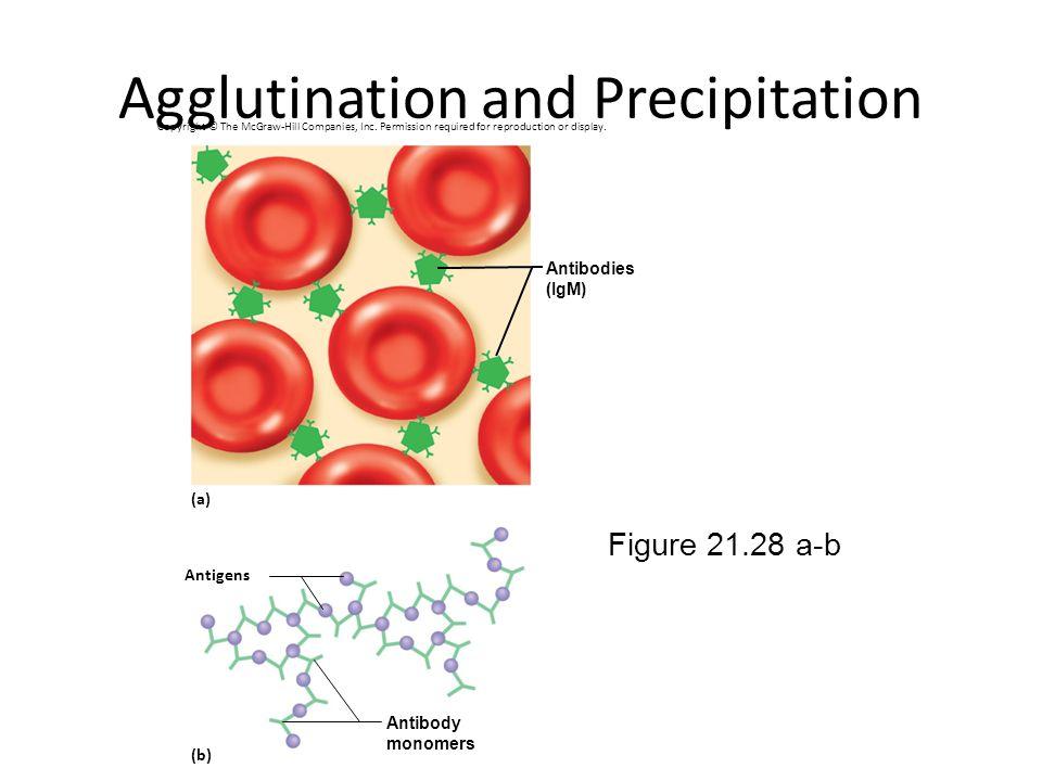 Agglutination and Precipitation Figure 21.28 a-b Antigens (a) (b) Antibodies (IgM) Antibody monomers Copyright © The McGraw-Hill Companies, Inc. Permi