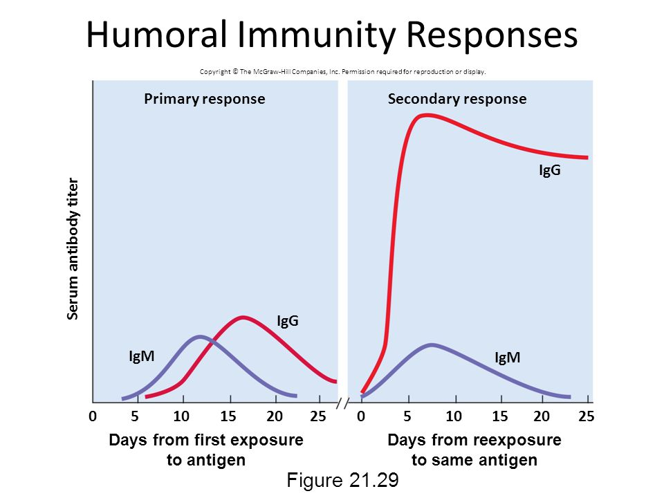 Humoral Immunity Responses Figure 21.29 Serum antibody titer Primary response IgM IgG Secondary response 00 5 510 15 20 25 Days from first exposure to