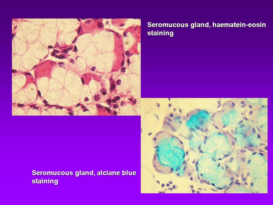 Seromucous gland, haematein-eosin staining Seromucous gland, alciane blue staining