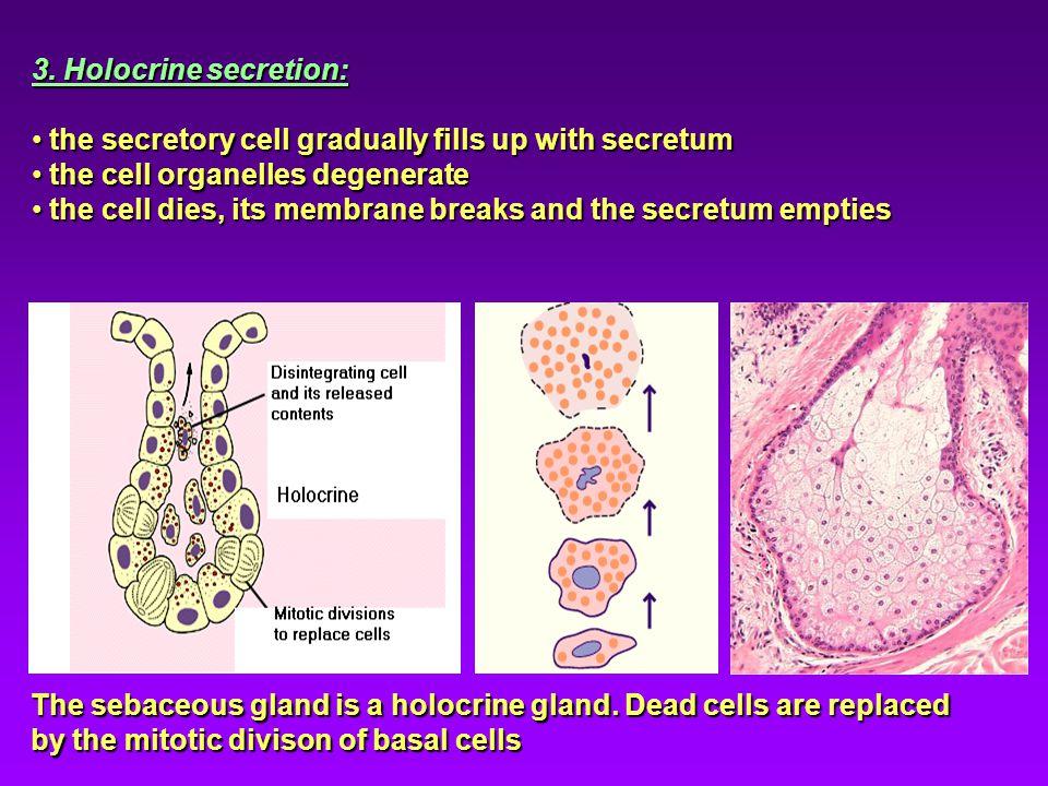 3. Holocrine secretion: the secretory cell gradually fills up with secretum the secretory cell gradually fills up with secretum the cell organelles de