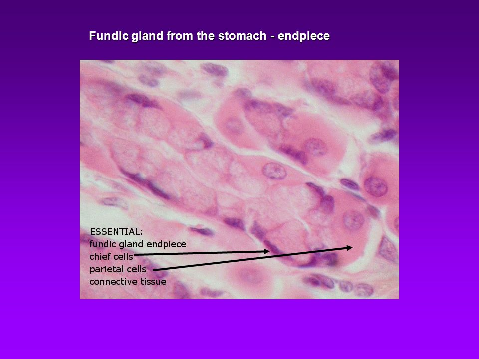 Fundic gland from the stomach - endpiece