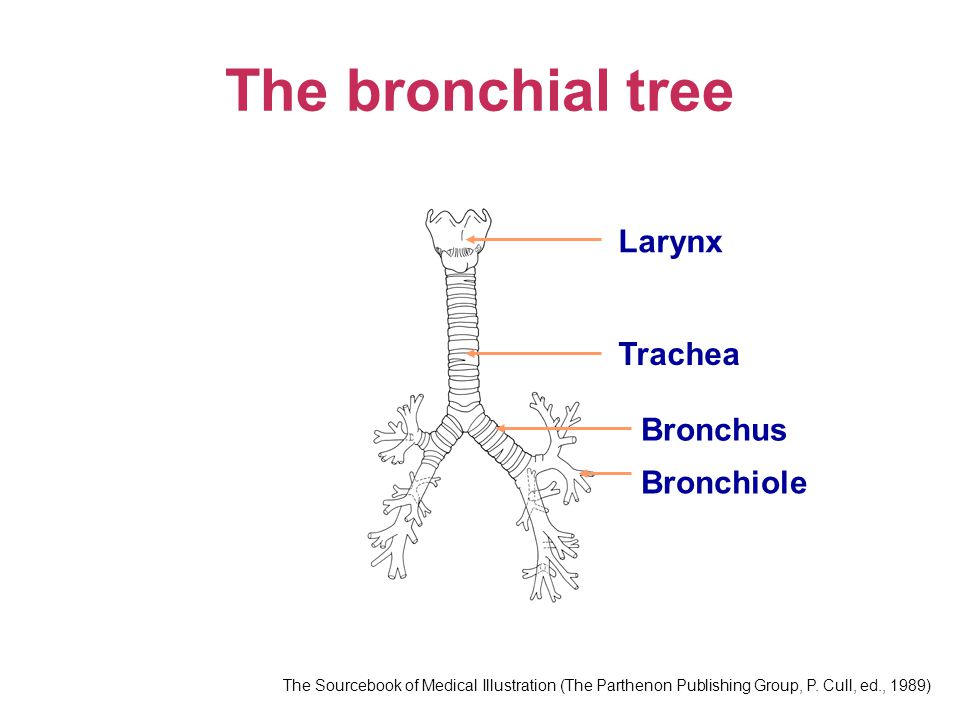 The bronchial tree Larynx Trachea Bronchus Bronchiole The Sourcebook of Medical Illustration (The Parthenon Publishing Group, P.