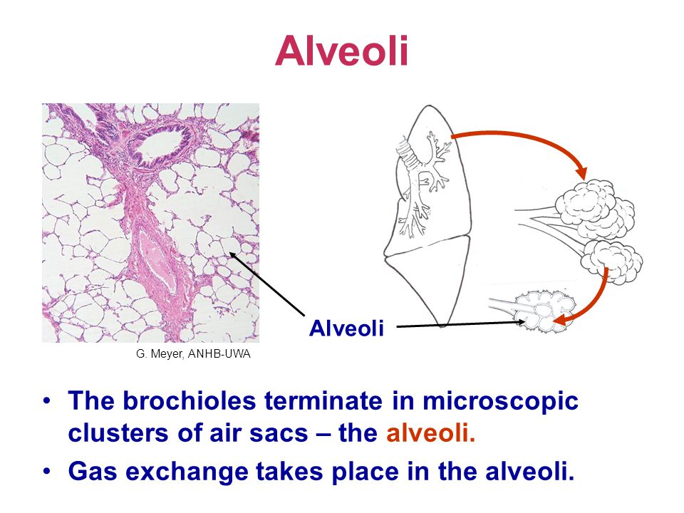 Alveoli The brochioles terminate in microscopic clusters of air sacs – the alveoli.