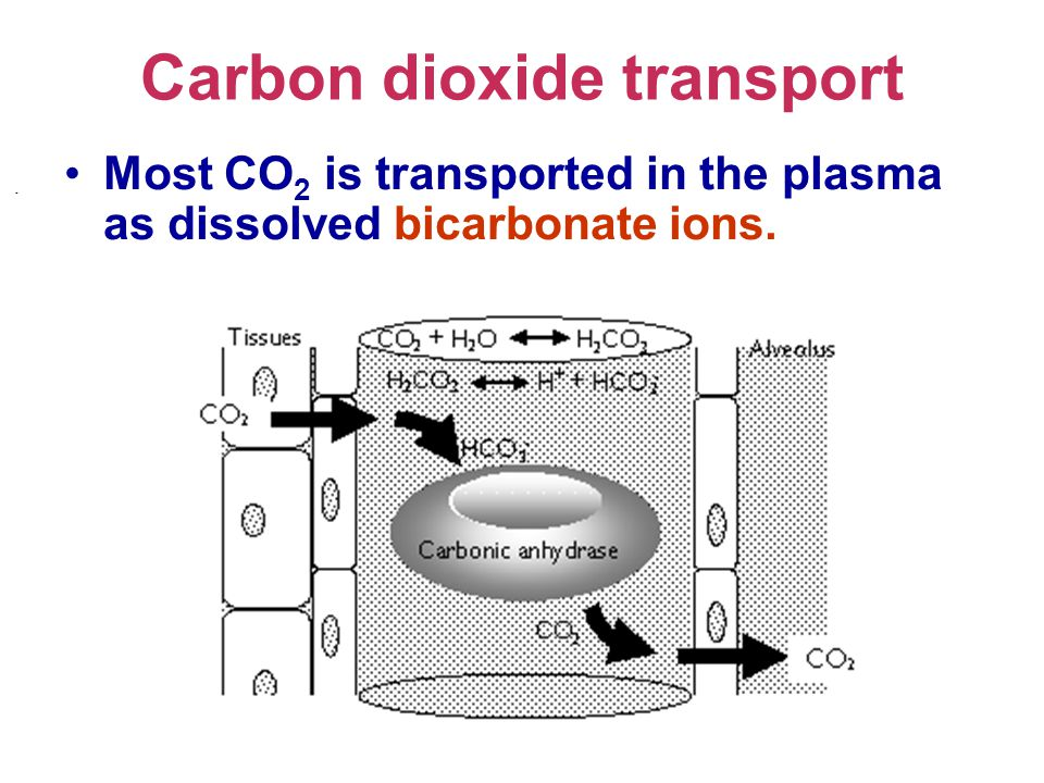 Carbon dioxide transport Most CO 2 is transported in the plasma as dissolved bicarbonate ions. -