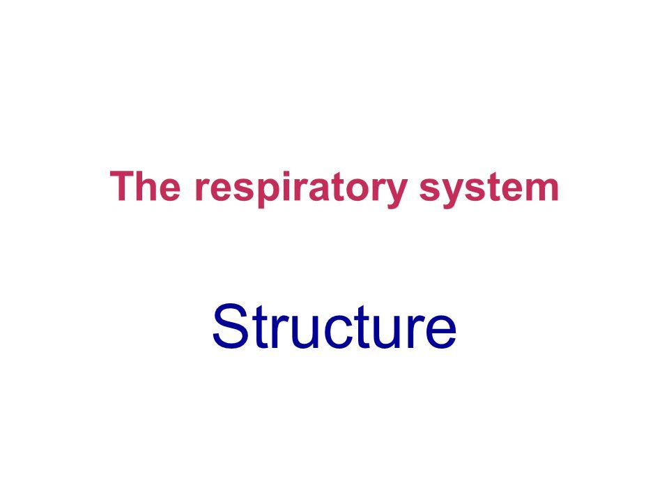 Organs of the respiratory system Larynx Trachea Rib cage Bronchus Mediastinum Lung Diaphragm