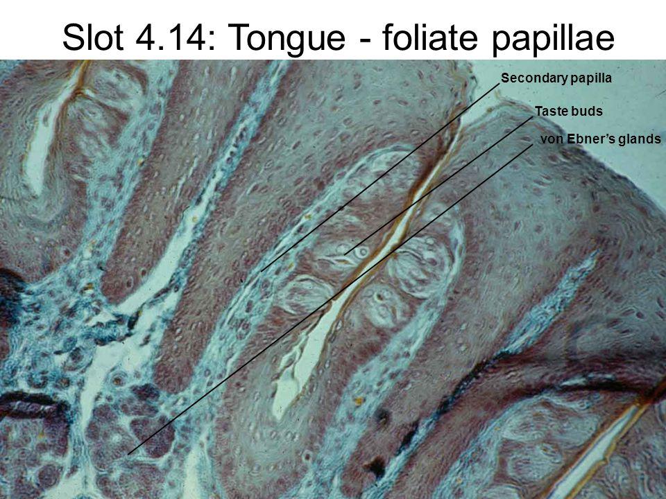 Slot 4.14: Tongue - foliate papillae Secondary papilla Taste buds von Ebner's glands