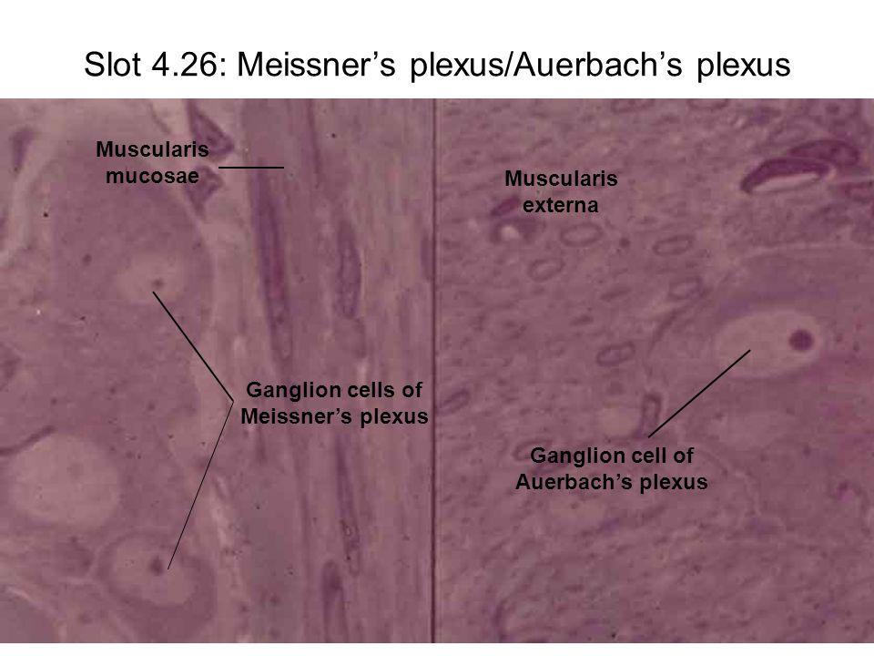 Slot 4.26: Meissner's plexus/Auerbach's plexus Muscularis mucosae Ganglion cells of Meissner's plexus Muscularis externa Ganglion cell of Auerbach's p