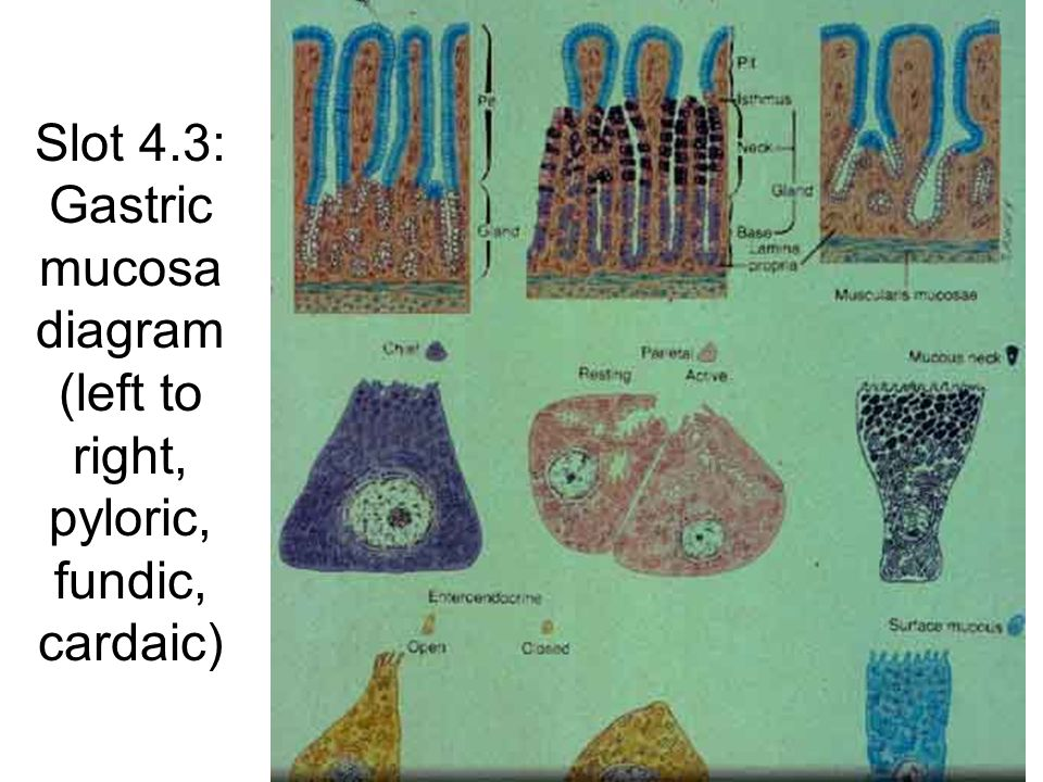 Slot 4.4: Stomach sections P=parietal C=chief N=mucous neck L=lamina propria Arrows=entero- endocrine cells Base of gastric glandsNeck of gastric glands Gastric pits and gastric glands P=parietal I=isthmus N=neck L=lamina propria Arrows (left) = mucus Arrows (right) = gastric pits