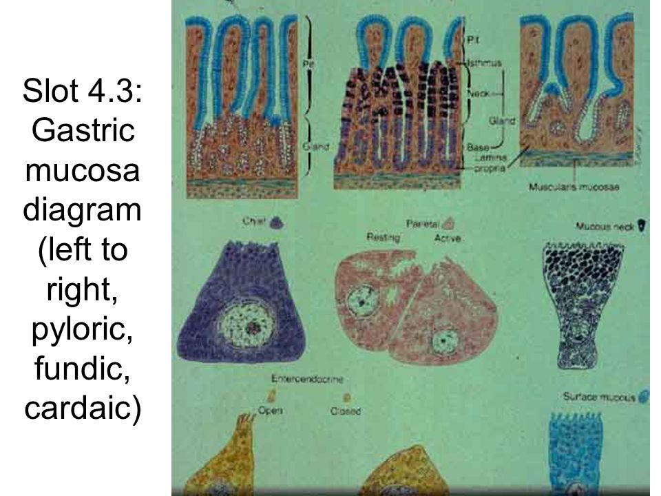 Slot 4.36: Liver (portal canals) Nerve Bile duct Portal Vein Hepatic artery Lymph vessel Bile duct Lymph vessel Hepatic artery