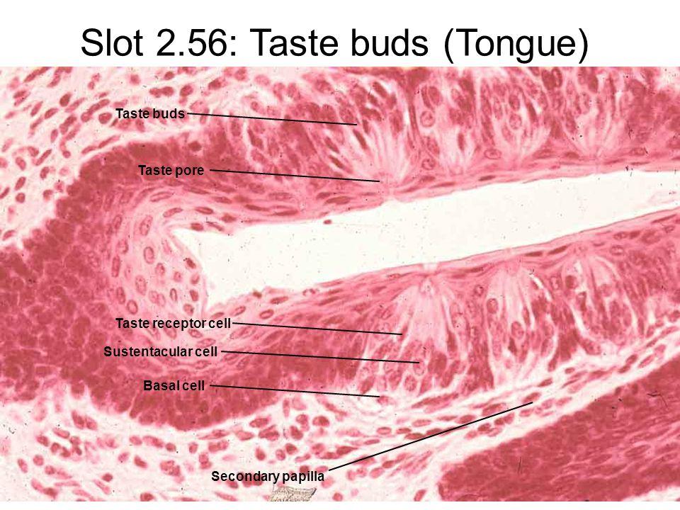 Slot 2.56: Taste buds (Tongue) Secondary papilla Taste buds Taste pore Taste receptor cell Sustentacular cell Basal cell
